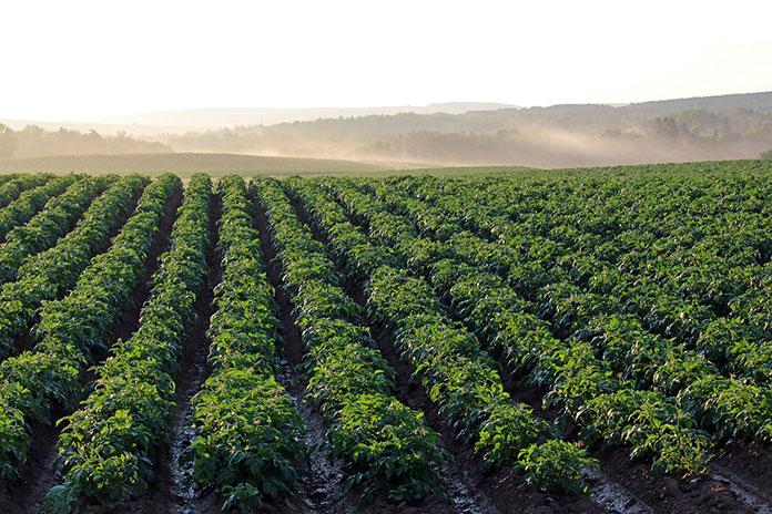 Zwalczanie chwastów jednoliściennych w kukurydzy