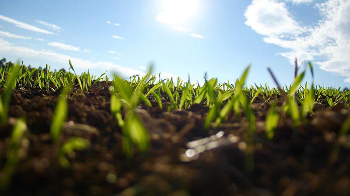 Najskuteczniejsze zwalczanie chwastów jednoliściennych w kukurydzy